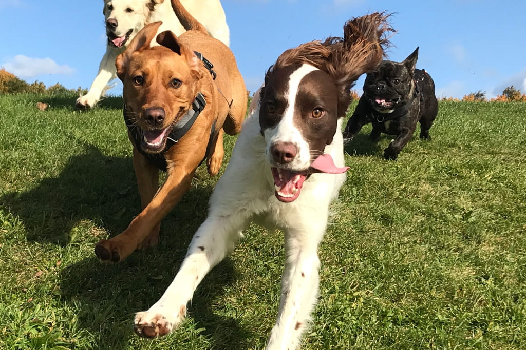 image of dogs running happily together over grass