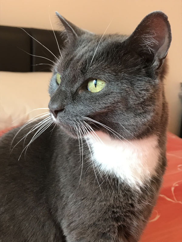 smokey coloured cat