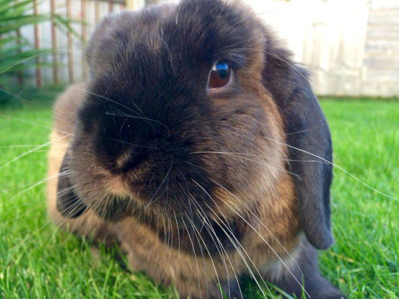 floppy-eared rabbit